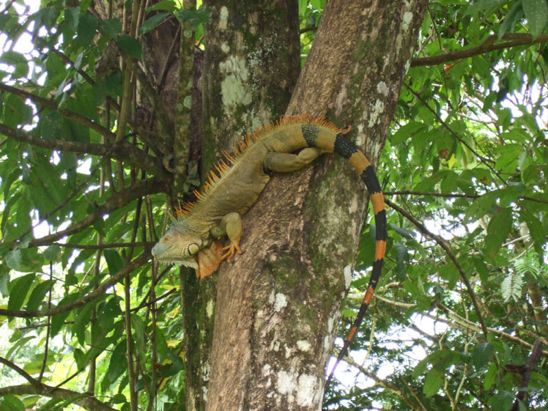 Costa Rica Reptile